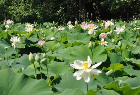 Field of water lilies