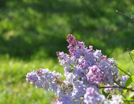 Lilac5